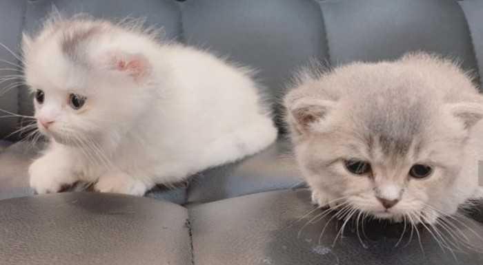 Seulgi kalıtsal hastalıklı safkan ırk kedi sahiplendiği için eleştirildi